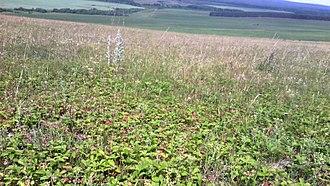 Fragaria viridis - Image: Клубничные луга (Fragaria viridis)