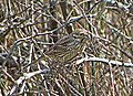 Обыкновенная овсянка - Emberiza citrinella - Yellowhammer - Жълта овесарка - Goldammer (33048361201).jpg