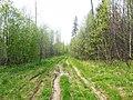 По просеке на Хохловку, конец мая 2013 - panoramio.jpg