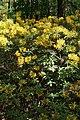 Рододендрон жёлтый в Минском ботаническом саду 01.jpg