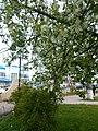 Цвітіння черемхи у парку Шевченка в Броварах.jpg