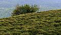 Чайные плантации.jpg