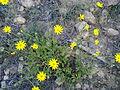 نبتة الخوع.jpg