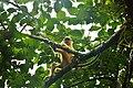 লাউয়াছড়ার জীবন চিত্র - মুখপোড়া হনুমান বা লালচে হনুমান 01.jpg
