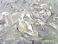 บริเวรท่าน้ำวัดโพสพผลเจริญ ปลาเยอะแยะมากมาย - panoramio.jpg