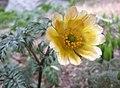 側金盞花 Adonis amurensis -首爾切頭山公園 Seoul, South Korea- (33823991311).jpg