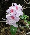 凹葉杜鵑 Rhododendron davidsonianum -日本大阪鮮花競放館 Osaka Sakuya Konohana Kan, Japan- (27406342777).jpg