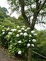 吉野山にて 七曲りのあじさい Hydrangea in Yoshinoyama 2011.7.02 - panoramio.jpg