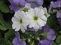 四季報春 Primula obconica Touch Me Series -香港花展 Hong Kong Flower Show- (9229898646).jpg
