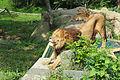 富士サファリパーク ライオン2 Fuji-safari-park-Lion2.jpg