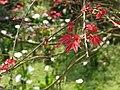 新葉 New leaves - panoramio.jpg