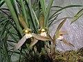 春蘭紅花 Cymbidium goeringii 'Red' -香港北區花鳥蟲魚展 North District Flower Show, Hong Kong- (12316832323).jpg