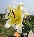 東方喇叭雜交百合 Lilium Bellville -廣州冠勝農業公園 Guangzhou, China- (44565832914).jpg