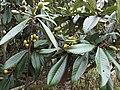 枇杷 Eriobotrya japonica - panoramio.jpg