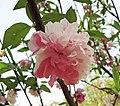紅白花桃 Amygdalus persica Hongbaihuatao -武漢植物園 Wuhan Botanical Garden- (9255248536).jpg