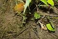 腹斑蛙 (37595387482).jpg