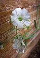 蔓枝滿天星 Gypsophila repens -香港花展 Hong Kong Flower Show- (13218321394).jpg
