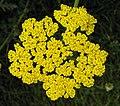 鳳尾蓍草 Achillea filipendulina Coronation Gold -英格蘭 Wisley Gardens, England- (9213353759).jpg