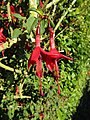 -2018-10-04 Fuchsia in flower (Fuchsia magellanica), Overstrand.JPG