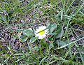 02-04-11 Gänseblümchen.jpg