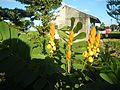 07875jfSenna alata flowers Cassia alata L. ringworm bush Philippinesfvf 14.jpg