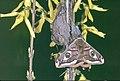07 Imago mâle de Saturnia Pavonia 1991.jpg