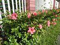 0985jfHibiscus rosa sinensis Linn White Pinkfvf 09.jpg