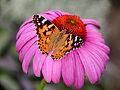 0 Belle-dame (Vanessa cardui) - Echinacea purpurea - Havré (1).JPG
