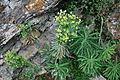 0 Euphorbia veneta - Samoëns (2).JPG