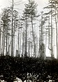 1932. Aphis abietina, Walk., damage to Sitka spruce. Mora, Washington. (40015303862).jpg