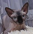 1 adult cat Sphynx. img 011.jpg