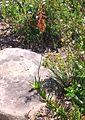 1 flowering Aloe decumbens - Sandstone slope - South Africa 2.jpg