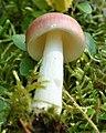 2010-09-03 Russula betularum Hora 102497.jpg