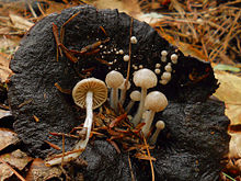 A population of small, cream-coloured, gilled mushrooms growing on a black, old and partly degraded bigger mushroom