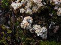 2013-02-23 Ochrolechia frigida (Sw.) Lynge 312325.jpg