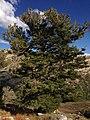 2013-09-16 16 04 07 Large Whitebark Pine at about 9550 feet along the Island Lake Trail in Lamoille Canyon, Nevada.jpg