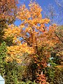 2014-10-30 13 47 46 Red Maple during autumn along Terrace Boulevard in Ewing, New Jersey.JPG