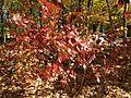 2014-11-02 12 33 31 Arrowwood foliage during autumn along Broad Avenue in Ewing, New Jersey.JPG