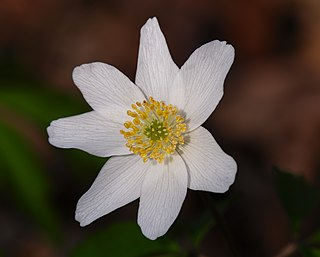 Veternica hájna - kvet