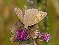 2014.07.16.-01-Woellnau Winkelmuehle--Grosses Ochsenauge-Weibchen.jpg