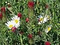 20140505Leucanthemum vulgare2.jpg