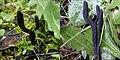 2015-12-24 Geoglossum fallax E.J. Durand 597427.jpg