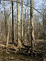 2016-02-08 13 29 56 Erosion around trees on the banks of Difficult Run between Vale Road and Lawyers Road in Oakton, Fairfax County, Virginia.jpg