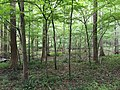 2017-08-10 16 31 06 Forest along the Gerry Connolly Cross County Trail between Twin Branches Road and the Washington and Old Dominion Trail in Reston, Fairfax County, Virginia.jpg