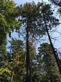 2017-09-10 13 44 32 View up into the canopy of several Red Spruce trees along the Cove Trail on the north side of Spring Lake's cove in Berlin, Rensselaer County, New York.jpg