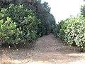 2017-10-15 Orchard of Orange trees, Patã de Baixo, Boliqueime.JPG