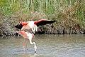 20170425 137 Camargue Flamingo (34422632206).jpg
