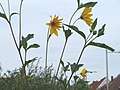 20170824Helianthus tuberosus2.jpg