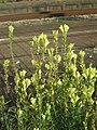 20180904Linaria vulgaris.jpg