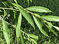 2020-07-11 07 55 16 Leaves in mid-summer on a Weeping Willow along Tranquility Court in the Franklin Farm section of Oak Hill, Fairfax County, Virginia.jpg